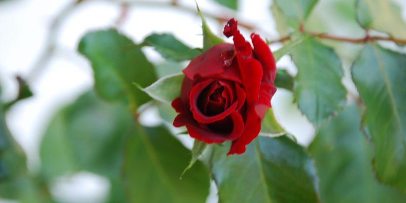 Rosenblüte am Haus